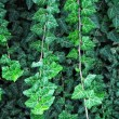Stock Photo: Decorative ivy