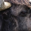 Stock Photo: Head of bull