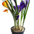 Stock Photo: Flowers crocuses