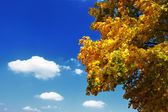 Autumn leaves of the maple tree — Stock Photo