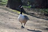 Goose walking by — Stock Photo
