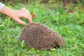Children's hand and hedgehog — Stock Photo