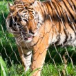 Young Siberian Tiger caged behind a wire fence - Stock Photo