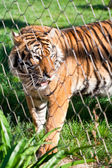 Young Siberian Tiger caged behind a wire fence — Stock Photo