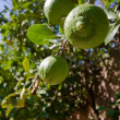 Green lemons on the tree — Stock Photo