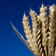 Bunch of ripe ears of wheat against blue sky — Stock Photo #13295029