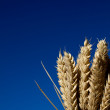 Bunch of ripe ears of wheat against blue sky — Stockfoto