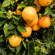 Beautiful ripe oranges hanging on an orange-tree in an orchard — Stock Photo
