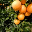 Stock Photo: Beautiful ripe oranges hanging on orange-tree in orchard
