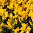 Stock Photo: Yellow flowers (Oxalis pes-caprae) in meadow. Invasive species.
