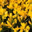 Yellow flowers (Oxalis pes-caprae) in meadow. Invasive species. — Stock Photo