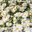 Stock Photo: Daisy field in spring. Selective Depth of Field.