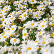 Daisy field in spring. Selective Depth of Field. — Stock Photo