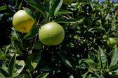 Verdant oranges hanging on orange tree at orchard — Stock Photo