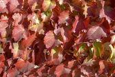 Boston ivy kırmızı sırasında sonbahar yaprakları. arka plan resmi. — Stok fotoğraf