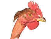 Chicken head — Stock Photo