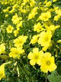 Yellow flowers (Oxalis pes-caprae) in meadow. Invasive species. — Stock Photo