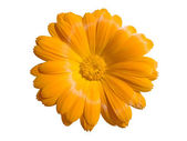 View of a yellow marigold isolated on white — Stock fotografie