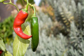 Par chilipeppar hängande i bushen utomhus — Stockfoto