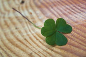 Irish shamrock — Stock Photo