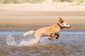 Su üzerinde çalışan köpek — Stok fotoğraf