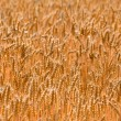 Royalty-Free Stock Photo: Cereal Field