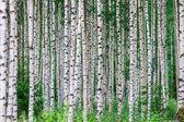 Zomer birchwood — Stockfoto