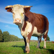 Big Cow on the Meadow — Stock Photo