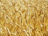 Golden Crop — Stock Photo