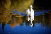 Swan in Color — Stock Photo