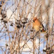 Waxwing in winter — Stock Photo #37551961