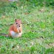Squirrel on the grass — Stock Photo #37717945
