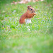 Squirrel on the grass — Stock Photo #37718131