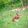 Squirrel on the grass — Stock Photo #37718149
