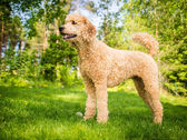 Standard Poodle in the Summer — Stock Photo