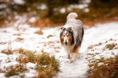 Collie walking in the snow — ストック写真