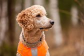 Retrato de poodle — Fotografia Stock