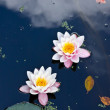 Stock Photo: Two water lilies in a pond