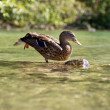 Stretching ducks — Stock Photo