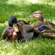 A couple of mallard ducks — Foto de Stock