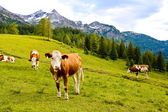 Cows on an alpine meadow — Stock Photo