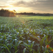 Stock Photo: Field of young corn at sunrise