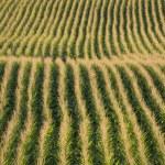 maïs rijen in de late middag zomerzon — Stockfoto