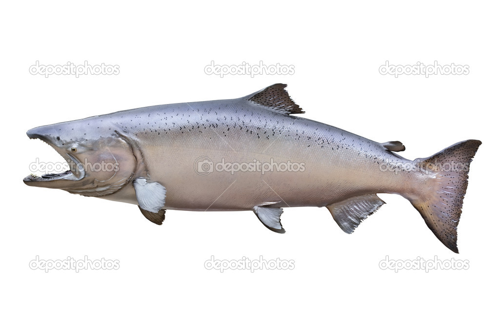 chinook salmon coloring page - mjes s lavando los pies colouring pages page 3
