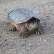 Stock Photo: Common snapping turtle walking on dirt road