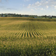 Stock Photo: Midwestern cornfield in late afternoon sun panorama