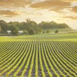 Soybean field at sundown — Stock Photo