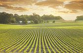 Soybean field at sundown — Stock Photo