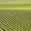 Stock Photo: Rows of young soybeans in afternoon sunlight