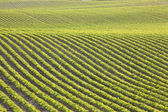 Rows of young soybeans in afternoon sunlight — Stock Photo